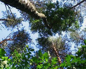 Лес в Беловежской пуще