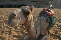 Верблюд из Египта :)
